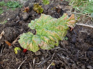 First few leaves of rhubarb
