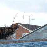 Picture of our rescue cat Candy on next doors shed roof.