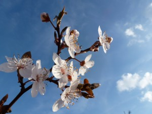 Cherry plum blossom