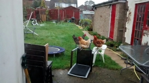 chickens on garden furniture